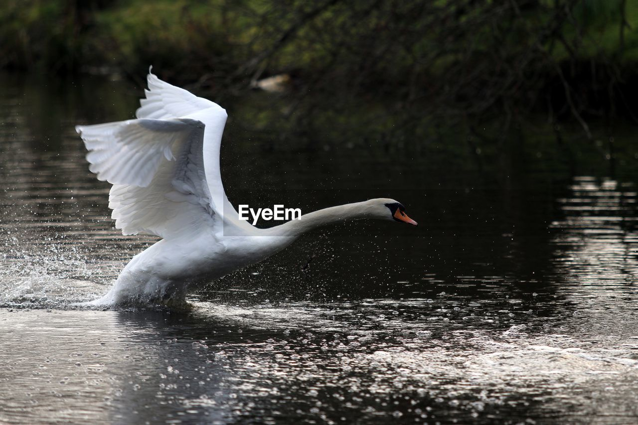 Side view of white swan flapping wings while swimming in lake