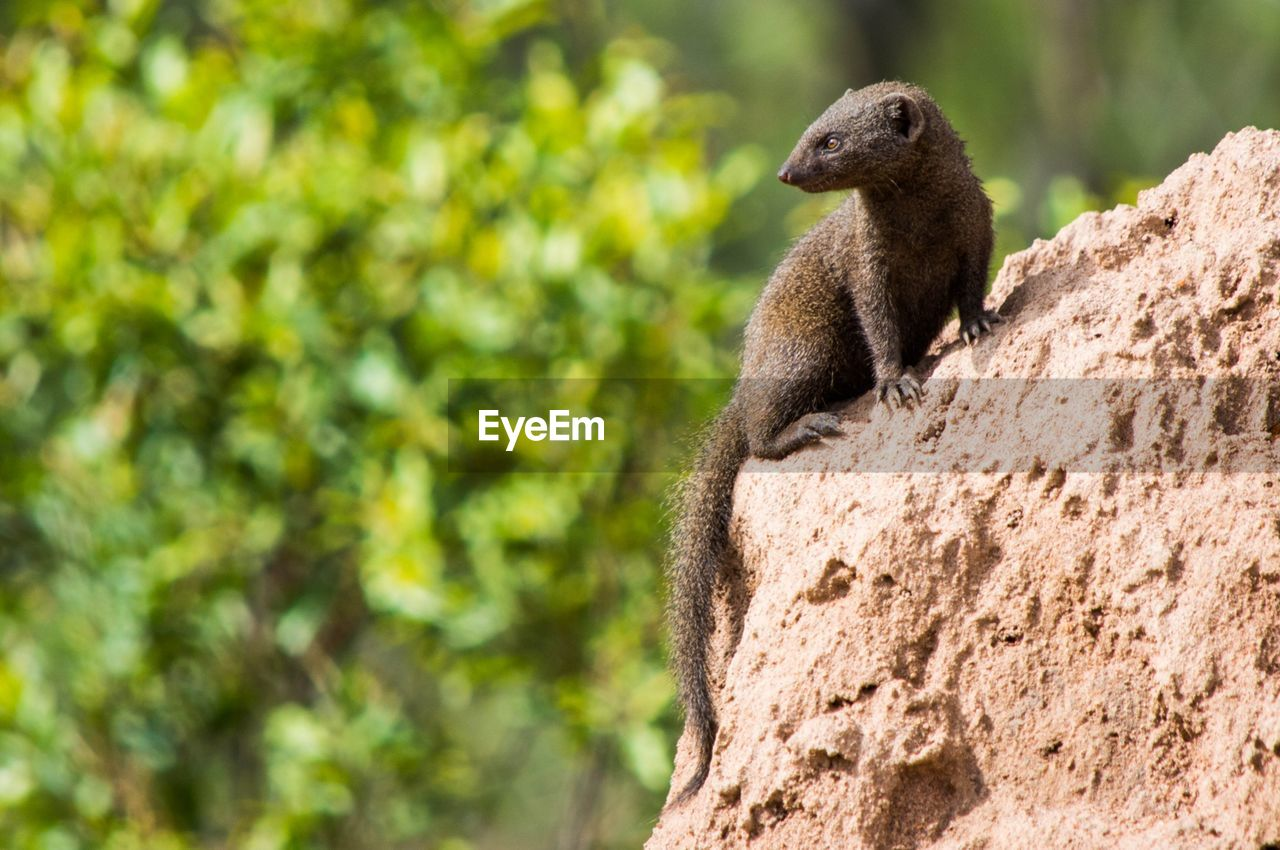 one animal, animals in the wild, day, outdoors, animal themes, animal wildlife, nature, mammal, no people, meerkat, tree