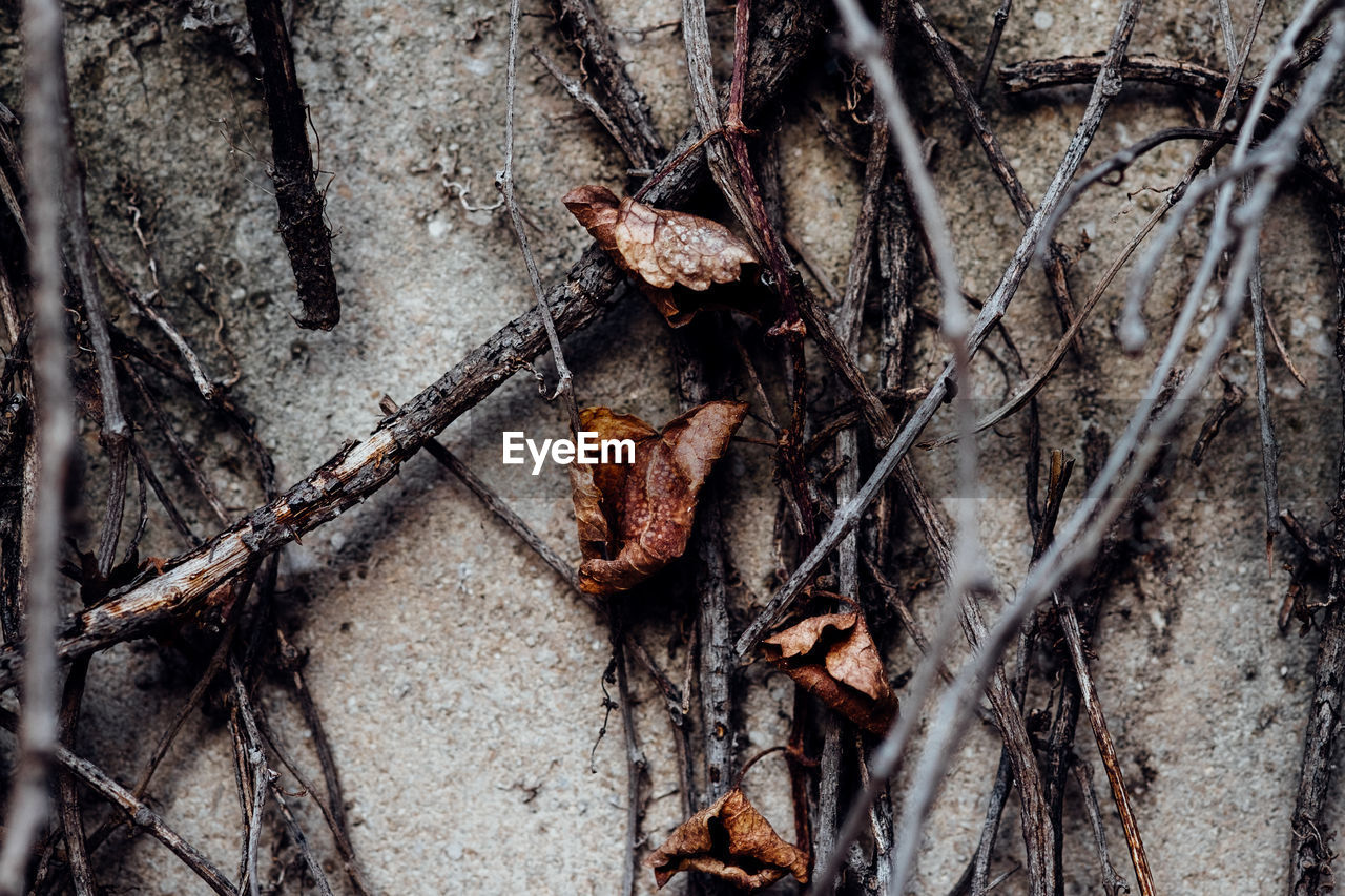 Close-Up Of Dried Creeper Plants On Wall