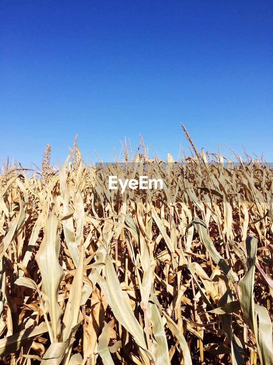 Dry corn plants on farm against clear blue sky