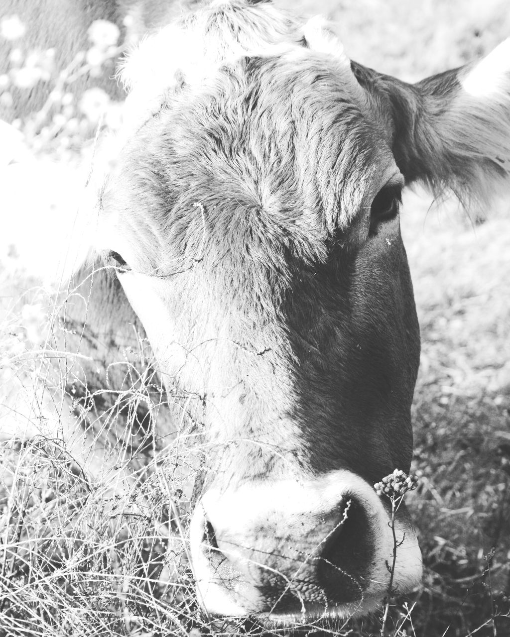 domestic animals, domestic, mammal, animal themes, one animal, pets, animal, livestock, vertebrate, cattle, animal body part, close-up, animal head, field, land, no people, day, nature, cow, domestic cattle, outdoors, herbivorous, animal mouth