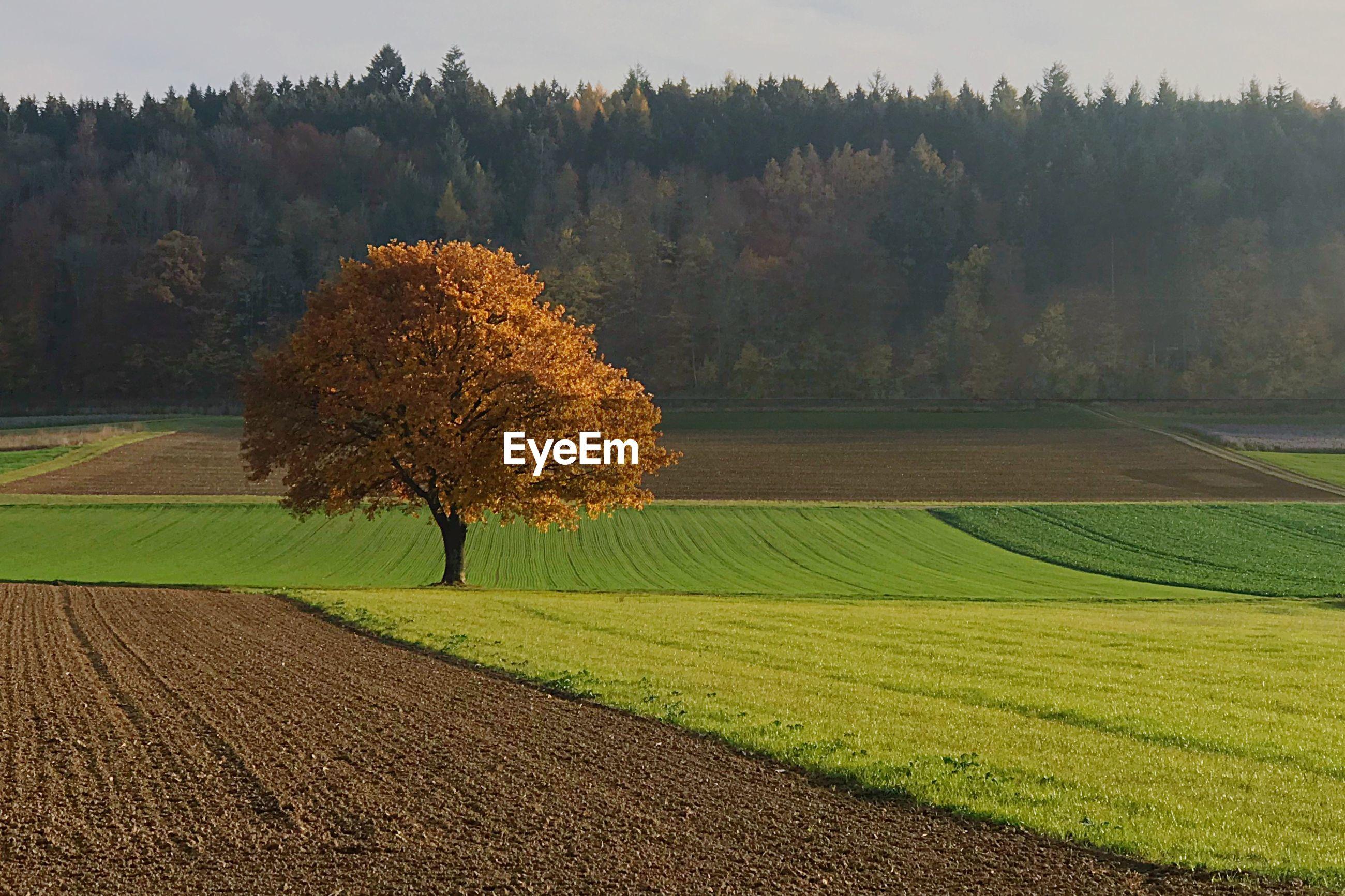 TREE ON FIELD AGAINST AUTUMN