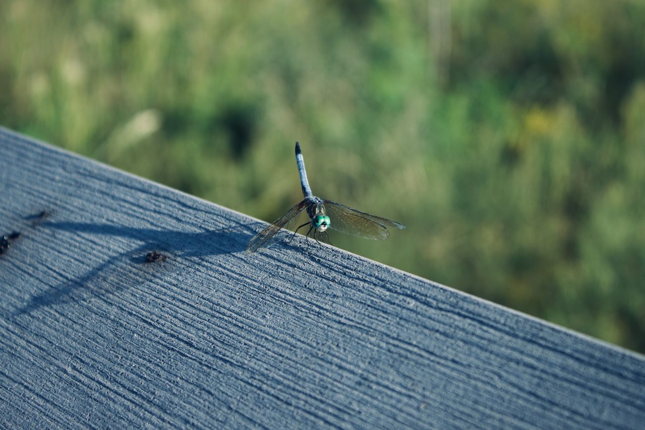 invertebrate, animals in the wild, one animal, animal wildlife, animal themes, animal, day, insect, focus on foreground, selective focus, nature, no people, close-up, wood - material, outdoors, blue, nail, metal, animal wing, green color