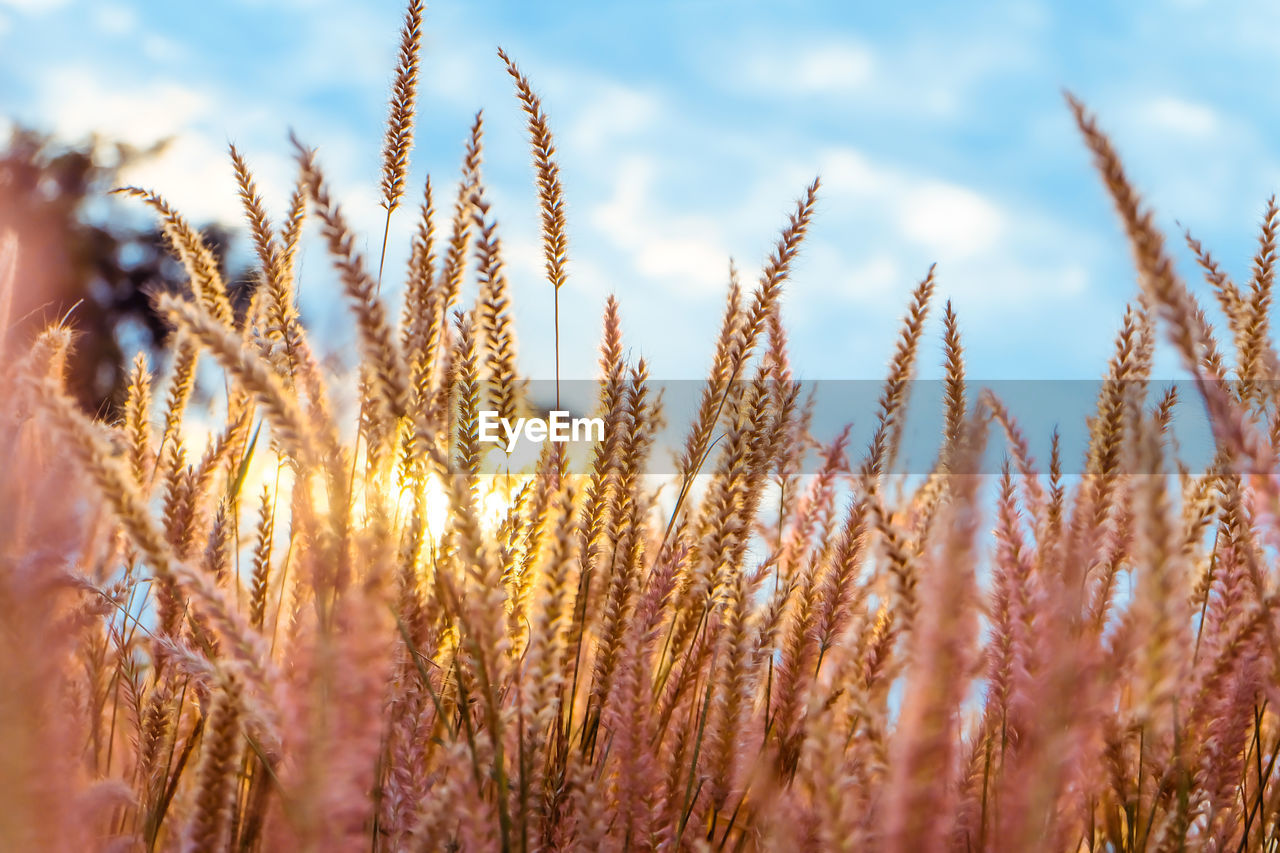 growth, plant, beauty in nature, nature, no people, tranquility, field, sky, agriculture, close-up, crop, day, selective focus, cereal plant, sunlight, land, landscape, tranquil scene, rural scene, outdoors, stalk