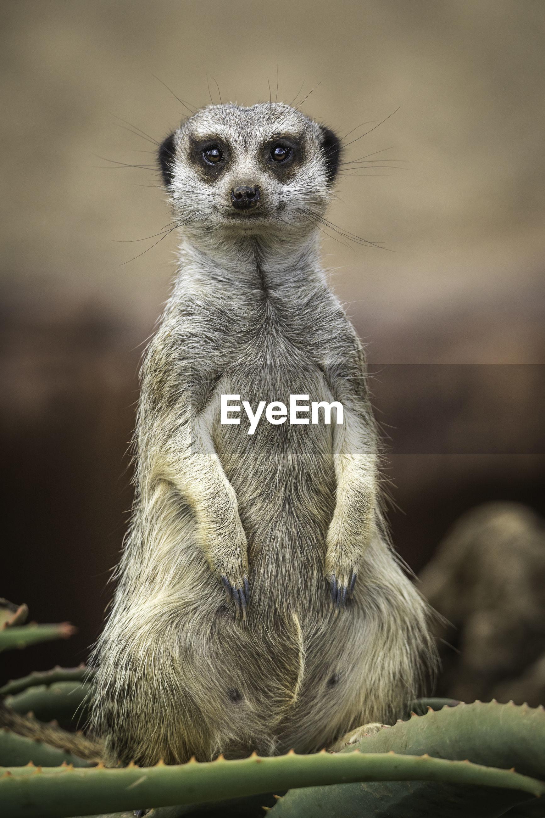 Close-up portrait of meerkat sitting on cactus