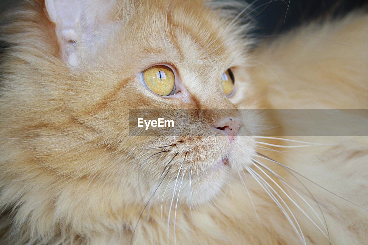 cat, domestic cat, domestic, mammal, feline, domestic animals, pets, animal themes, animal, one animal, whisker, close-up, vertebrate, no people, animal body part, hair, relaxation, animal head, animal hair, portrait, ginger cat, animal eye, snout, maine coon cat