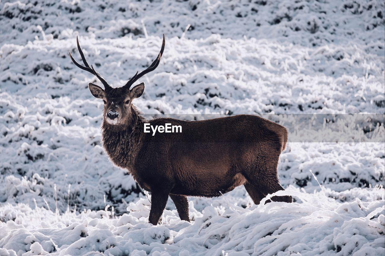 Portrait Of Deer Standing On Snowy Field