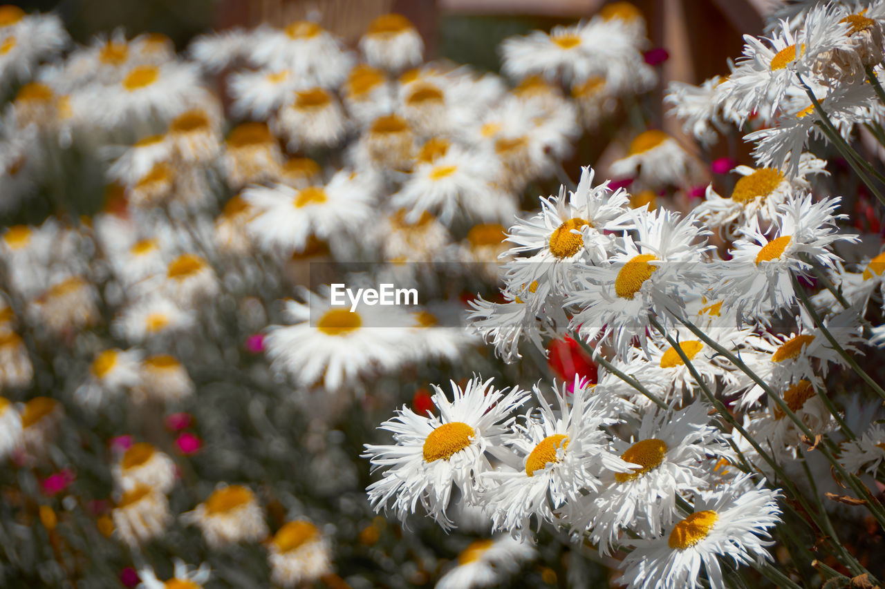 flower, flowering plant, freshness, plant, fragility, vulnerability, petal, close-up, beauty in nature, growth, flower head, focus on foreground, inflorescence, daisy, white color, no people, day, selective focus, pollen, nature