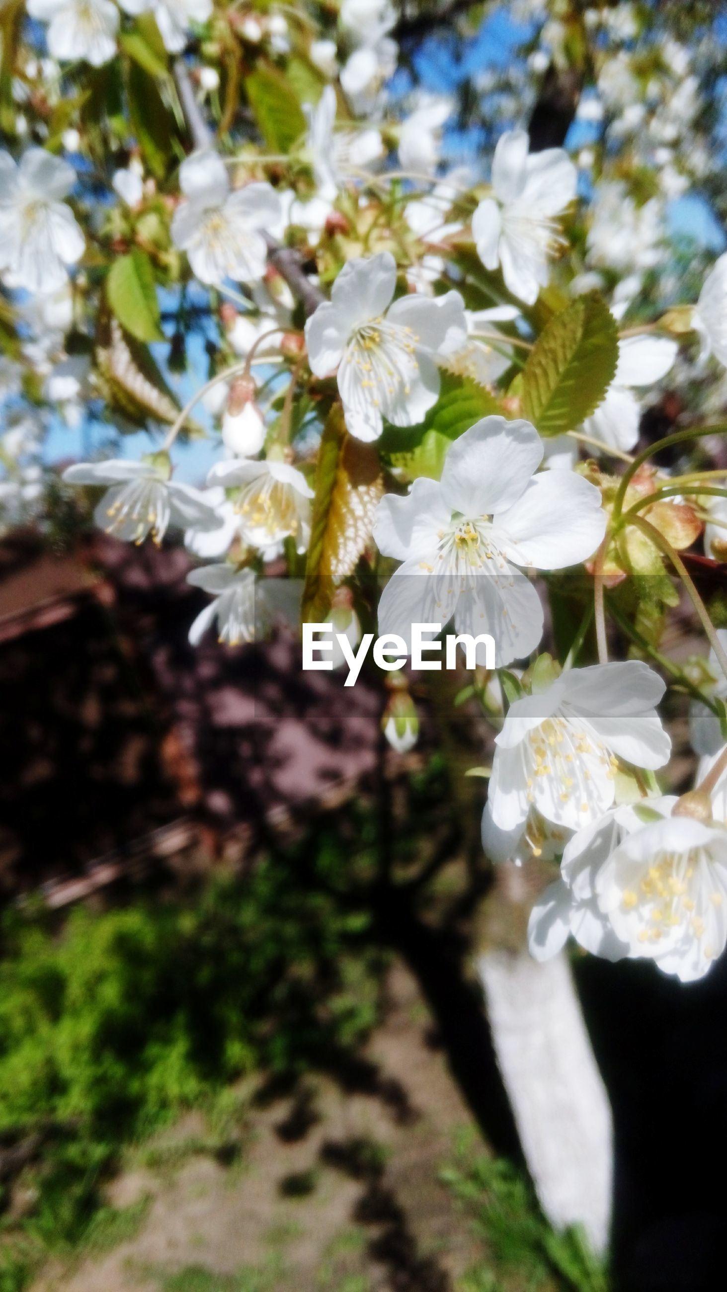 flower, freshness, growth, fragility, white color, petal, focus on foreground, beauty in nature, close-up, nature, flower head, blooming, plant, selective focus, tree, in bloom, blossom, branch, day, outdoors