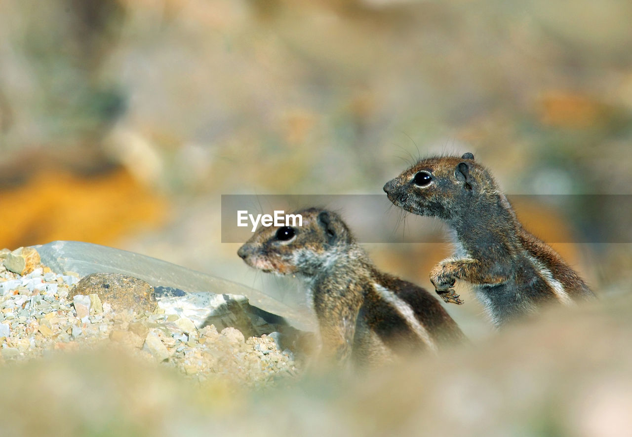 Close-Up Of Squirrels On Rock