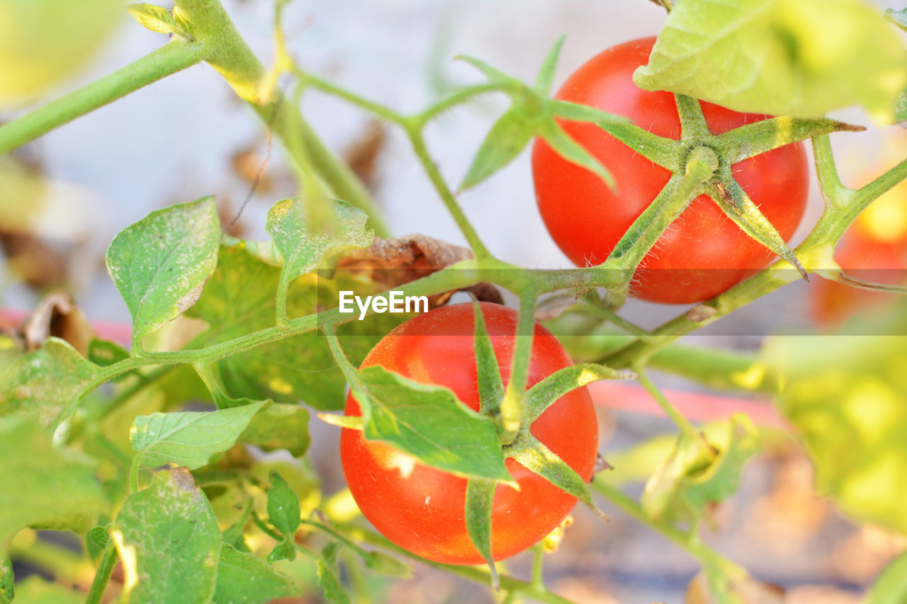 Close-up of red tomatoes growing at farm