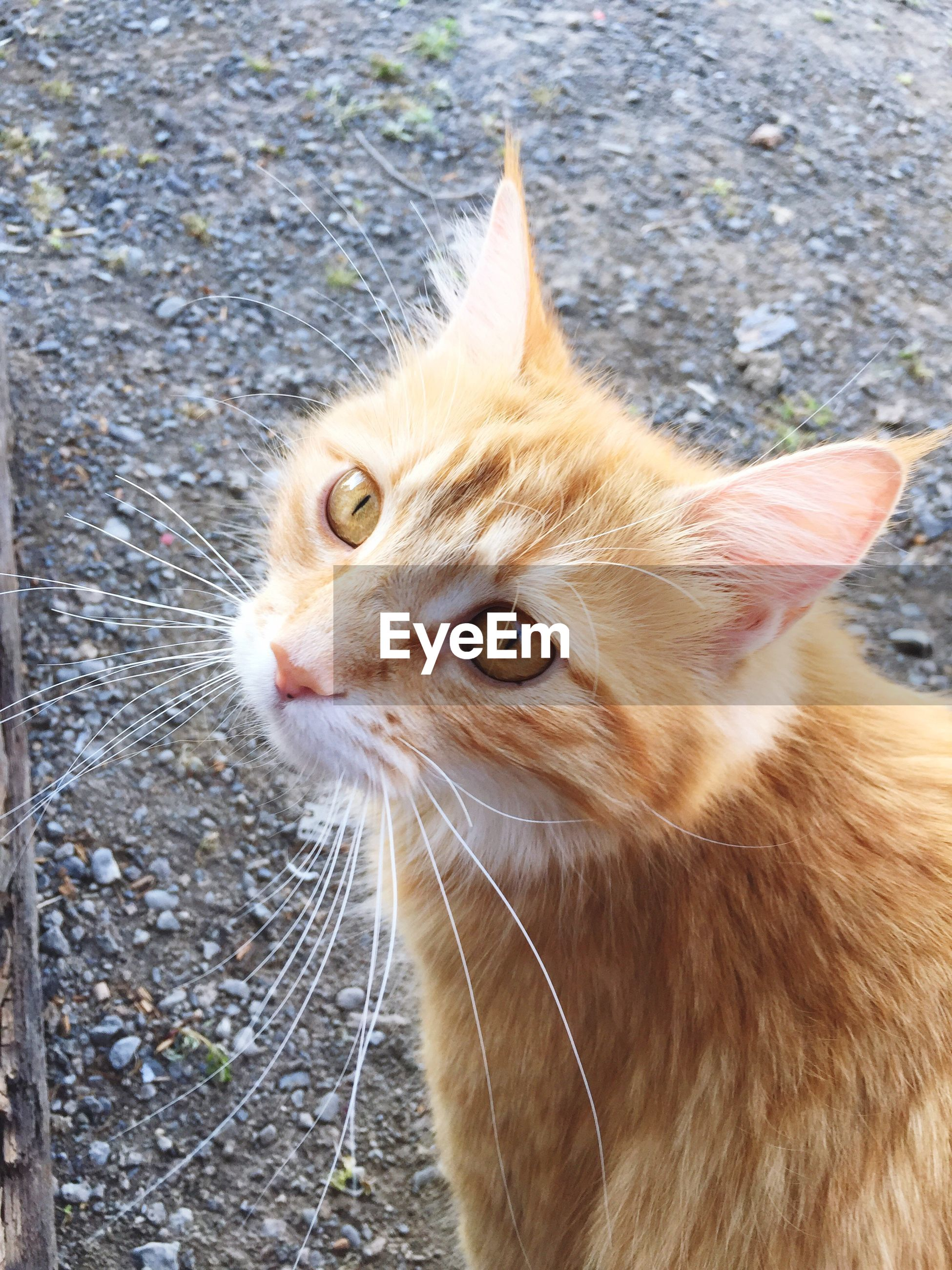 domestic cat, cat, animal themes, one animal, feline, domestic animals, mammal, pets, whisker, portrait, looking at camera, close-up, alertness, animal head, staring, outdoors, sitting, day, no people