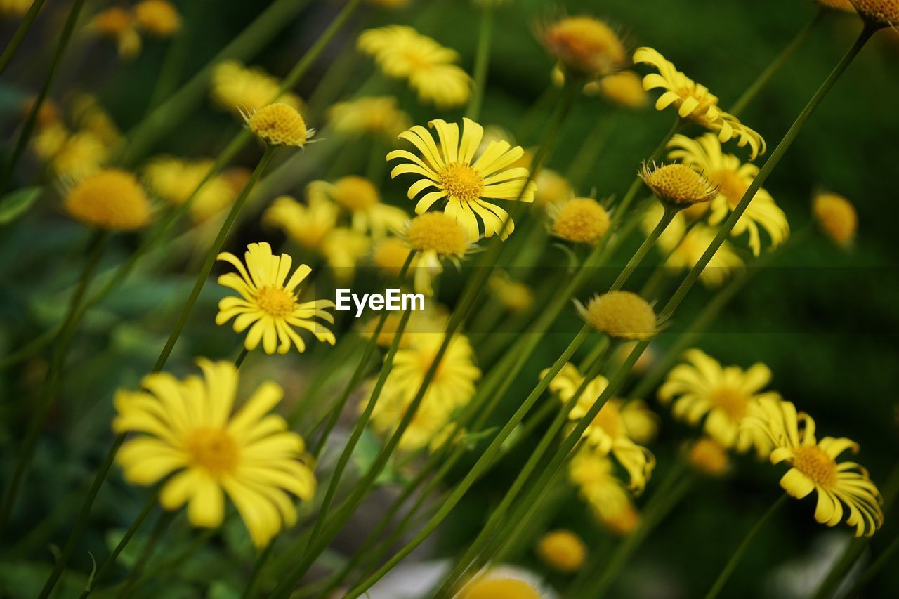 flower, flowering plant, plant, freshness, yellow, fragility, vulnerability, beauty in nature, growth, flower head, petal, inflorescence, close-up, nature, selective focus, focus on foreground, day, no people, outdoors, daisy, pollen