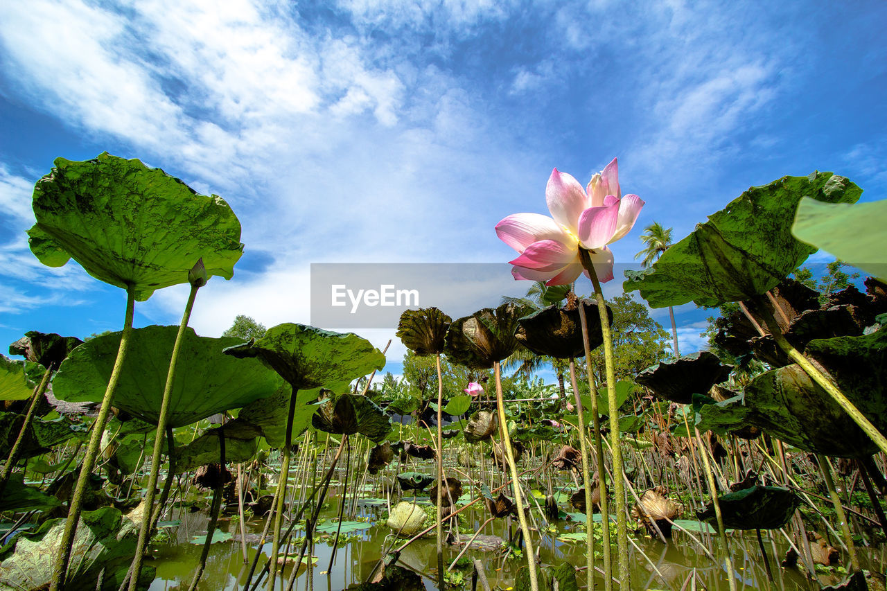 plant, beauty in nature, flower, growth, flowering plant, leaf, plant part, vulnerability, fragility, nature, sky, cloud - sky, freshness, close-up, pink color, no people, green color, petal, day, flower head, outdoors, lotus water lily