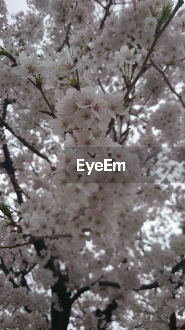 flower, fragility, blossom, tree, cherry blossom, springtime, beauty in nature, growth, apple blossom, white color, branch, freshness, nature, cherry tree, apple tree, botany, almond tree, orchard, petal, low angle view, day, no people, close-up, flower head, twig, selective focus, stamen, outdoors, plum blossom, backgrounds, blooming