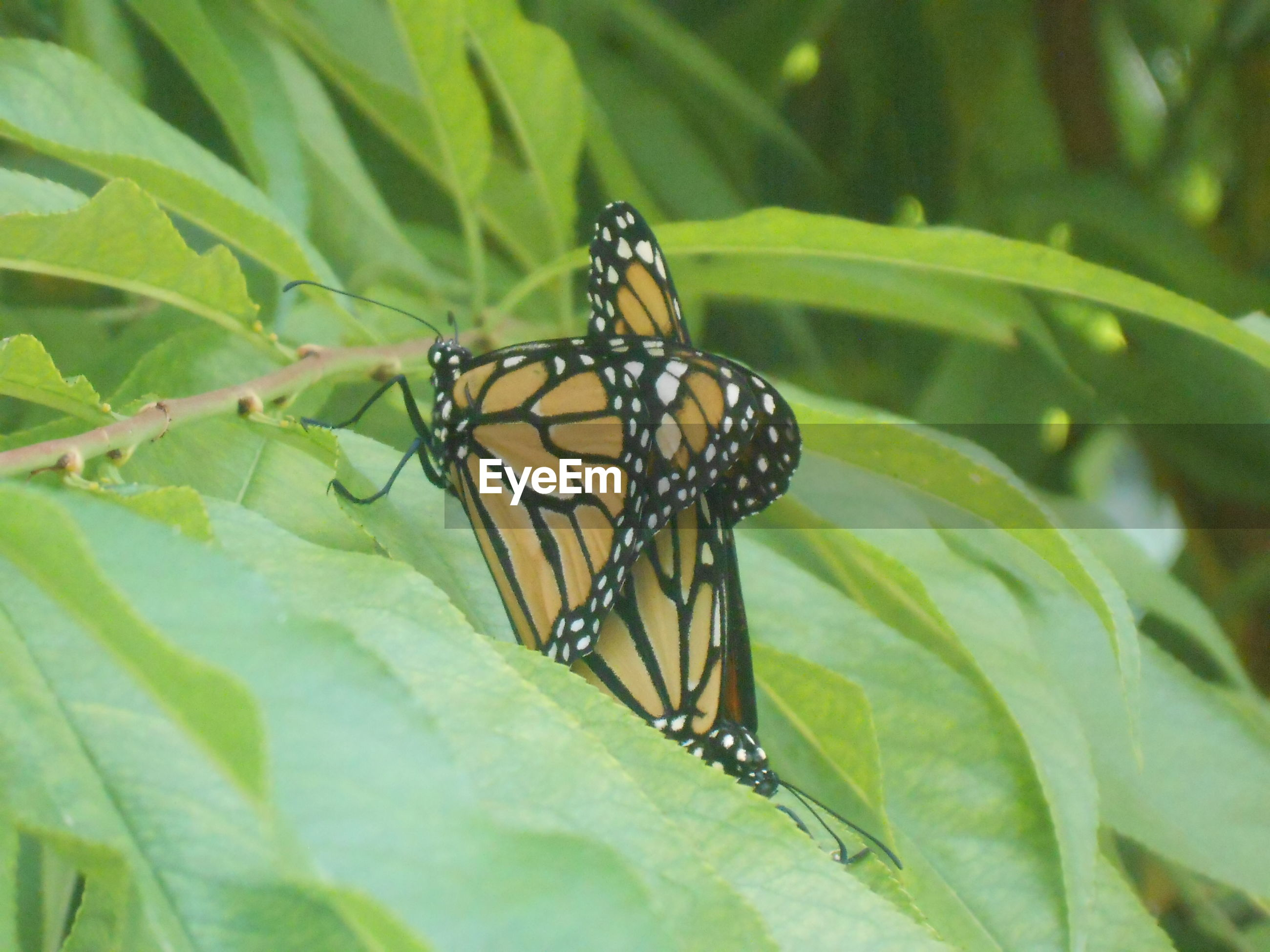 CLOSE-UP OF BUTTERFLY ON PLANT LEAF