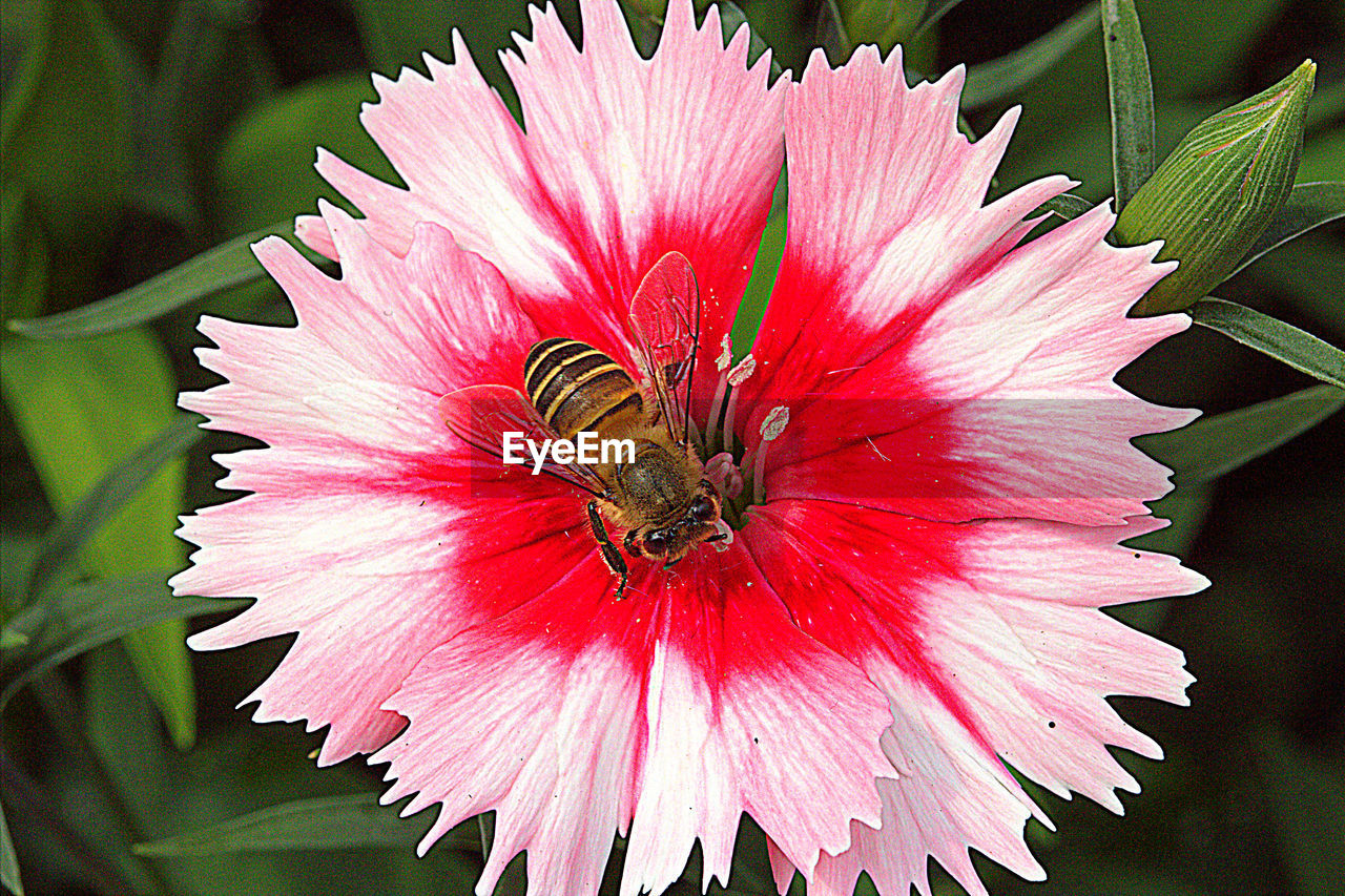 flower, petal, insect, one animal, animals in the wild, animal themes, nature, fragility, flower head, animal wildlife, bee, beauty in nature, pollination, freshness, pollen, pink color, growth, no people, day, outdoors, plant, close-up, buzzing