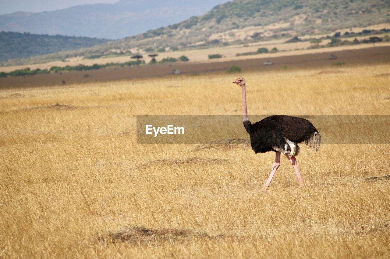 ostrich, bird, landscape, animal wildlife, animals in the wild, vertebrate, environment, land, nature, day, one animal, walking, no people, plant, mountain, outdoors, scenics - nature, animal neck