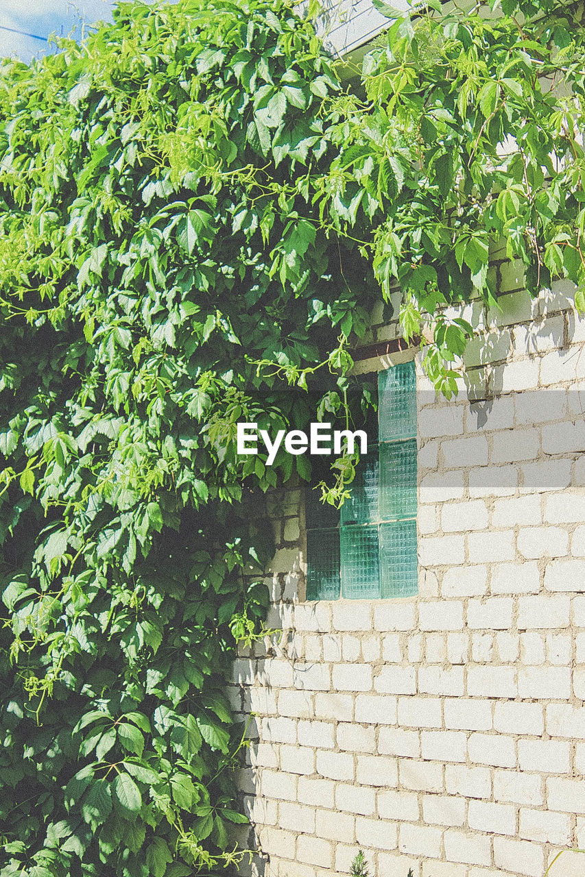 plant, architecture, green color, plant part, leaf, built structure, growth, building exterior, wall, day, wall - building feature, ivy, no people, creeper plant, nature, outdoors, building, brick wall, brick, house