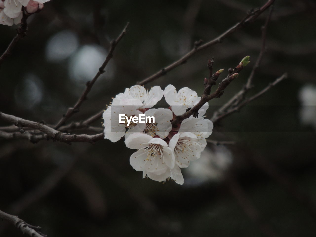 flower, fragility, white color, tree, beauty in nature, blossom, springtime, growth, branch, nature, apple blossom, botany, twig, freshness, orchard, apple tree, focus on foreground, close-up, petal, plum blossom, flower head, day, no people, outdoors, blooming