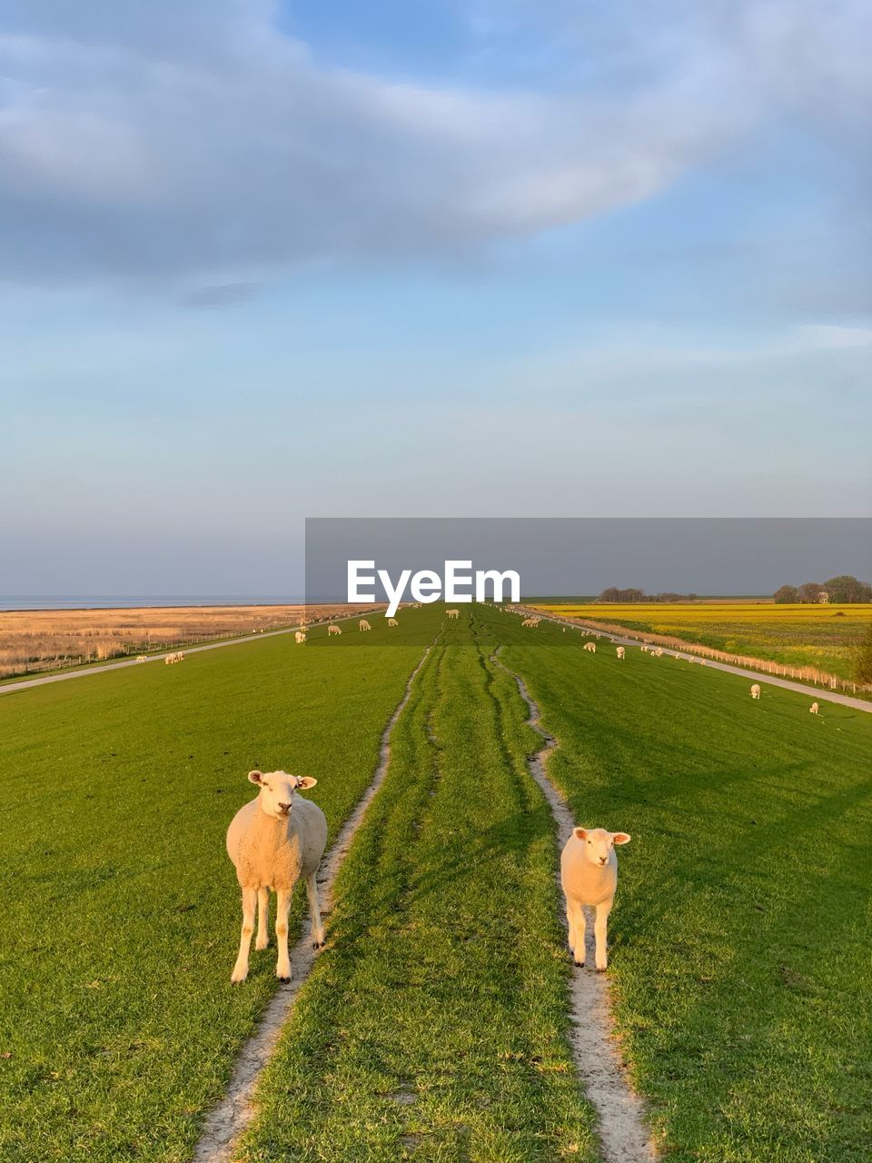 mammal, domestic animals, animal themes, domestic, pets, animal, vertebrate, sky, field, cloud - sky, land, grass, plant, group of animals, nature, landscape, livestock, beauty in nature, environment, green color, no people, outdoors, herbivorous