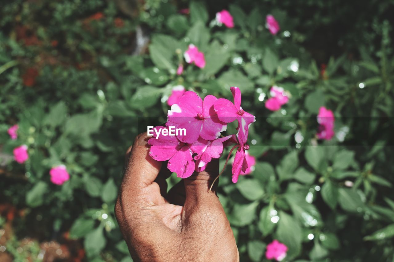 Cropped hand of young man holding pink flowers against plants at park