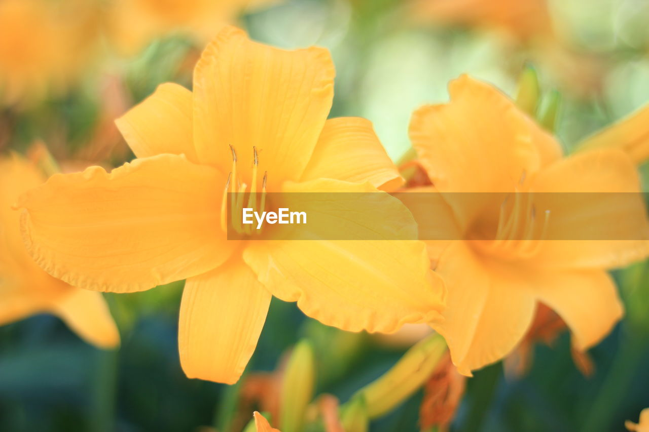 flower, petal, growth, fragility, beauty in nature, flower head, nature, yellow, freshness, plant, blooming, no people, focus on foreground, close-up, outdoors, day, day lily