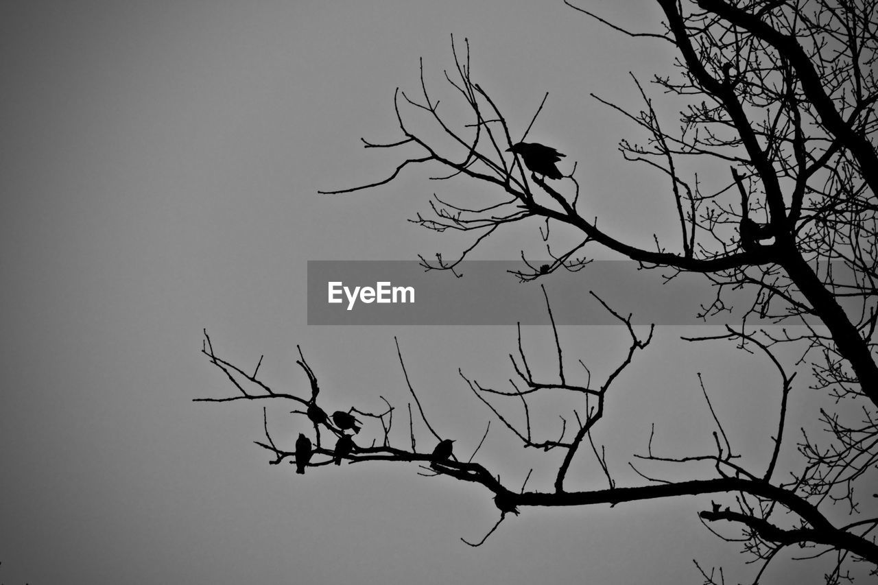 bare tree, branch, tree, low angle view, nature, animal themes, clear sky, animals in the wild, bird, outdoors, no people, dead plant, beauty in nature, day, animal wildlife, sky, perching, bird of prey, dead tree