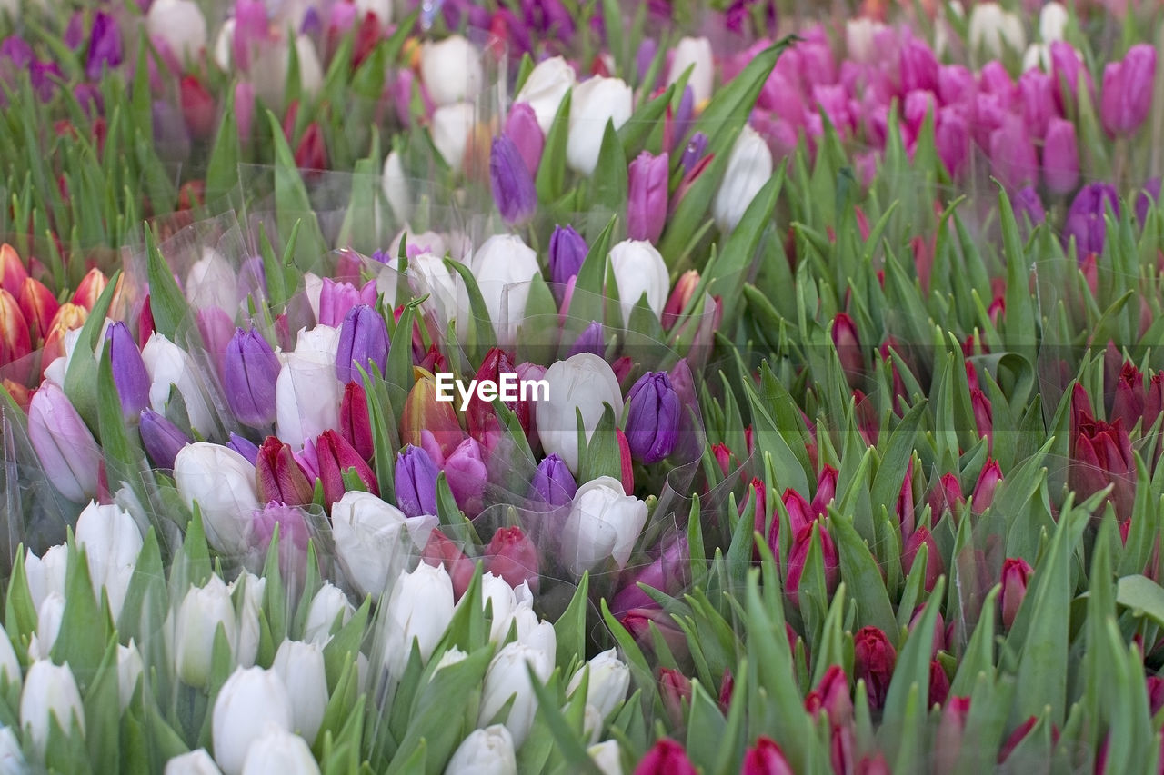 flowering plant, flower, plant, beauty in nature, vulnerability, fragility, freshness, growth, petal, close-up, field, land, purple, nature, no people, flower head, day, selective focus, inflorescence, white color, crocus, springtime, iris, flowerbed