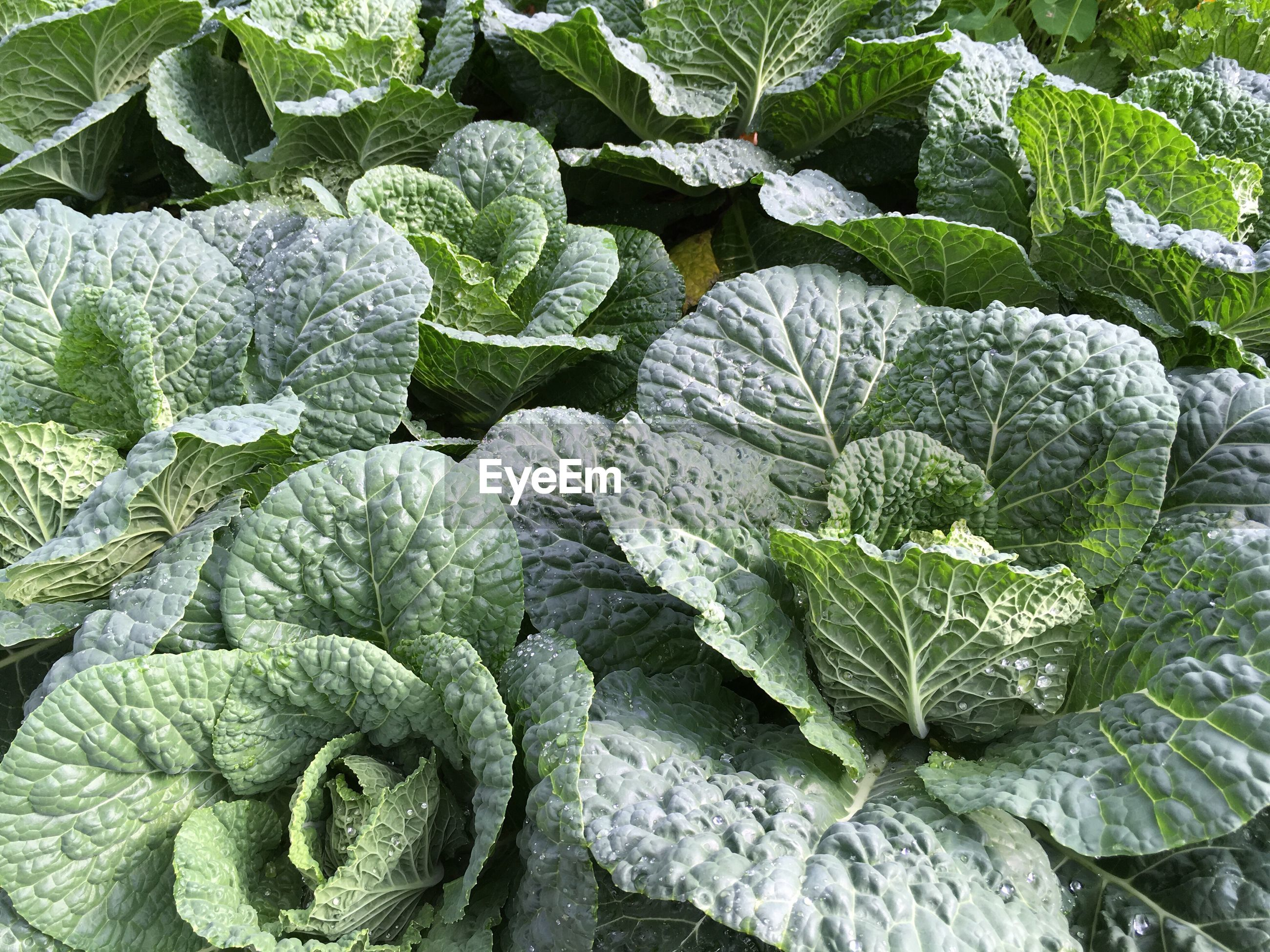 High angle view of kale growing in garden