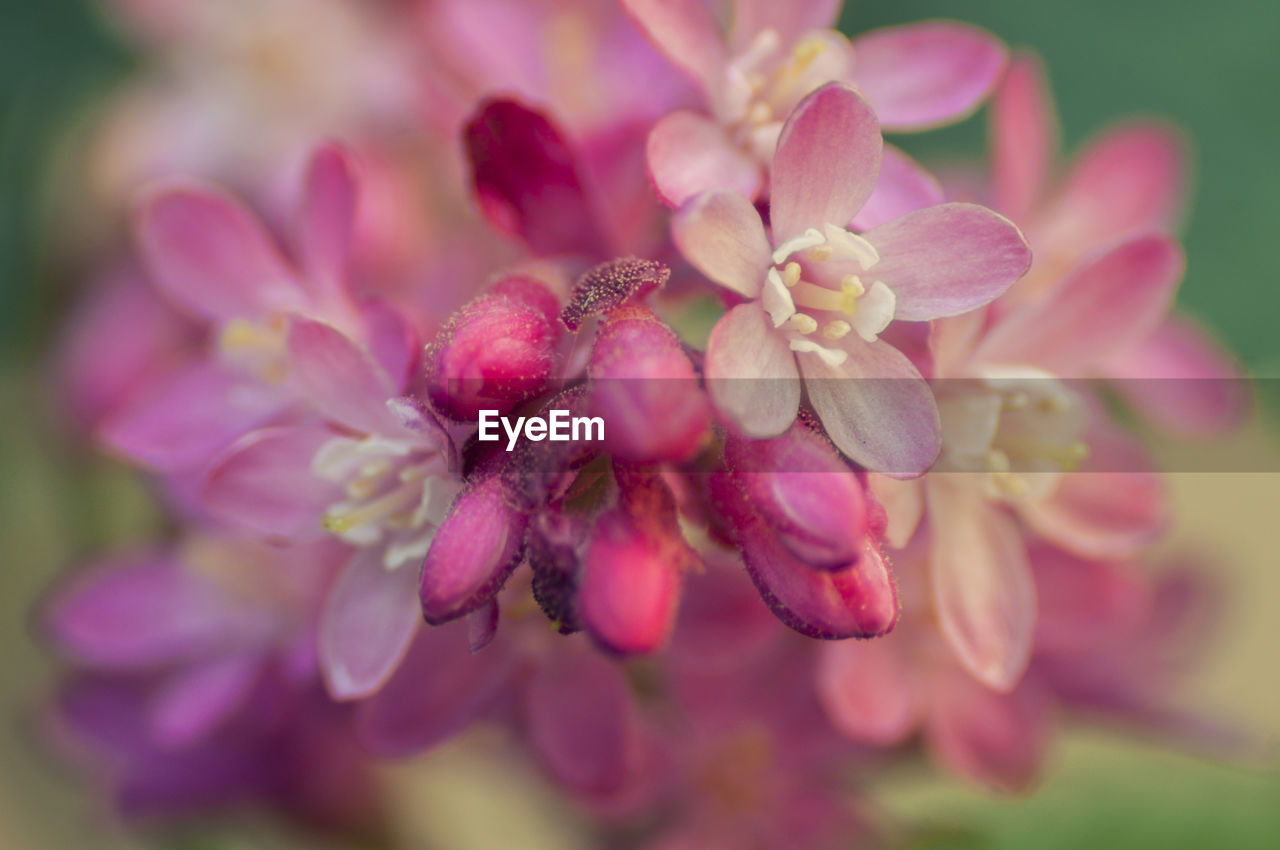 flower, flowering plant, plant, beauty in nature, pink color, vulnerability, fragility, close-up, growth, petal, freshness, inflorescence, selective focus, nature, flower head, day, no people, outdoors, focus on foreground, park, lilac
