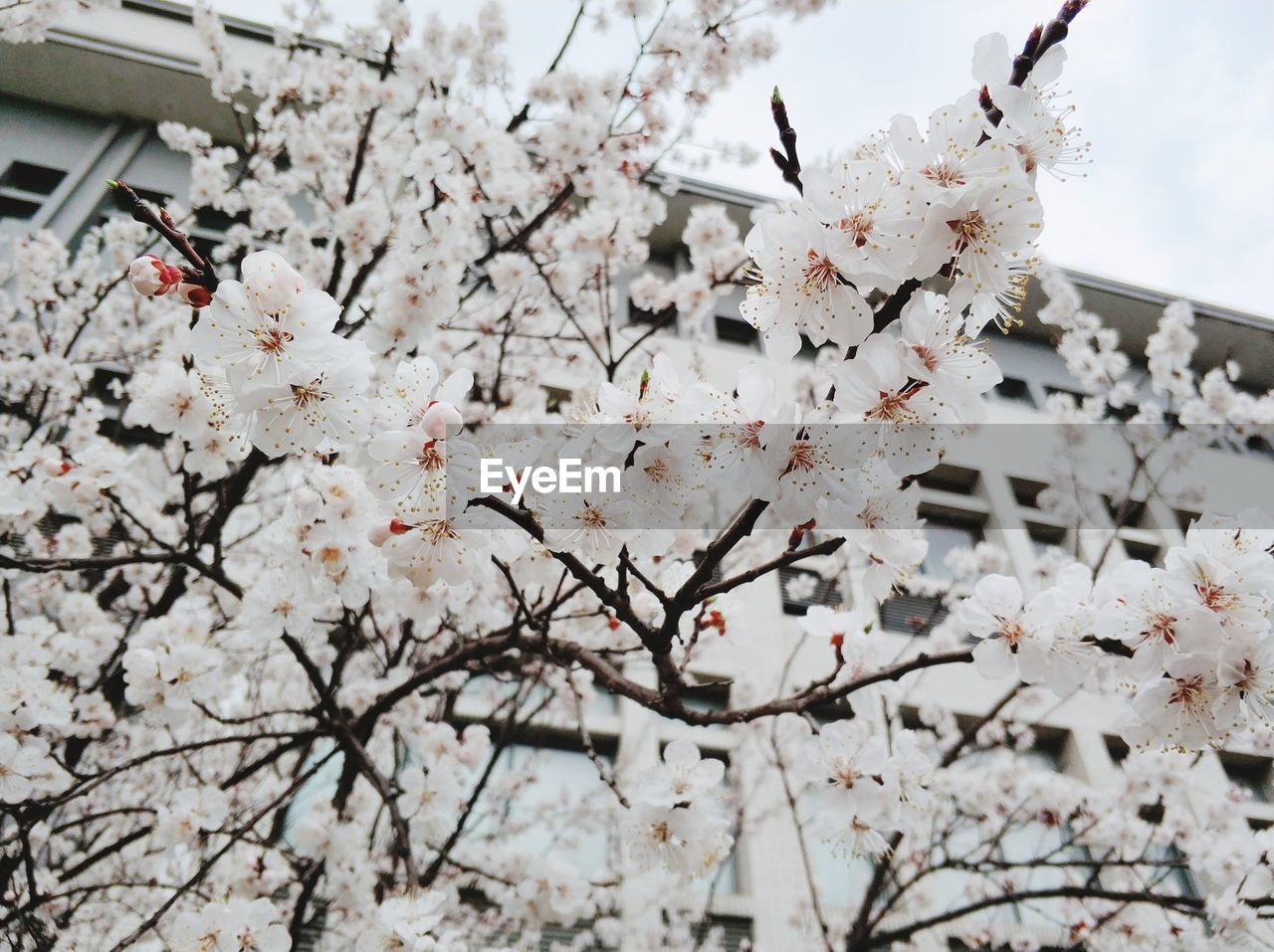 flower, cherry blossom, blossom, tree, fragility, cherry tree, springtime, branch, beauty in nature, apple blossom, growth, freshness, apple tree, nature, low angle view, orchard, white color, botany, petal, no people, blooming, twig, day, outdoors, plum blossom, flower head, architecture, building exterior, sky, built structure, close-up