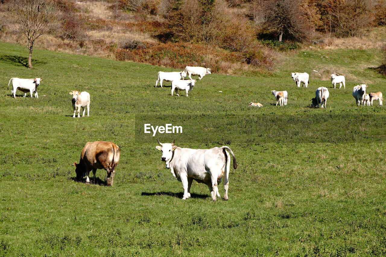 livestock, mammal, domestic animals, domestic, animal themes, animal, group of animals, grass, pets, field, land, plant, agriculture, grazing, vertebrate, nature, landscape, green color, no people, pasture, herbivorous, outdoors, herd