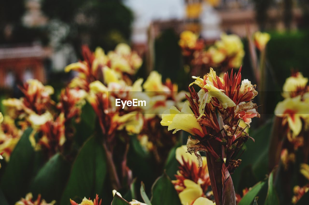 plant, flower, flowering plant, growth, beauty in nature, close-up, freshness, focus on foreground, nature, fragility, vulnerability, day, petal, yellow, no people, selective focus, flower head, outdoors, inflorescence, plant part