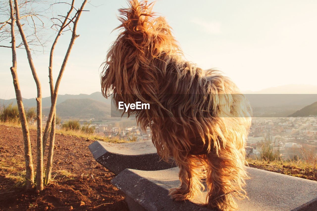 Fluffy dog standing on stone bench by bare tree against clear sky