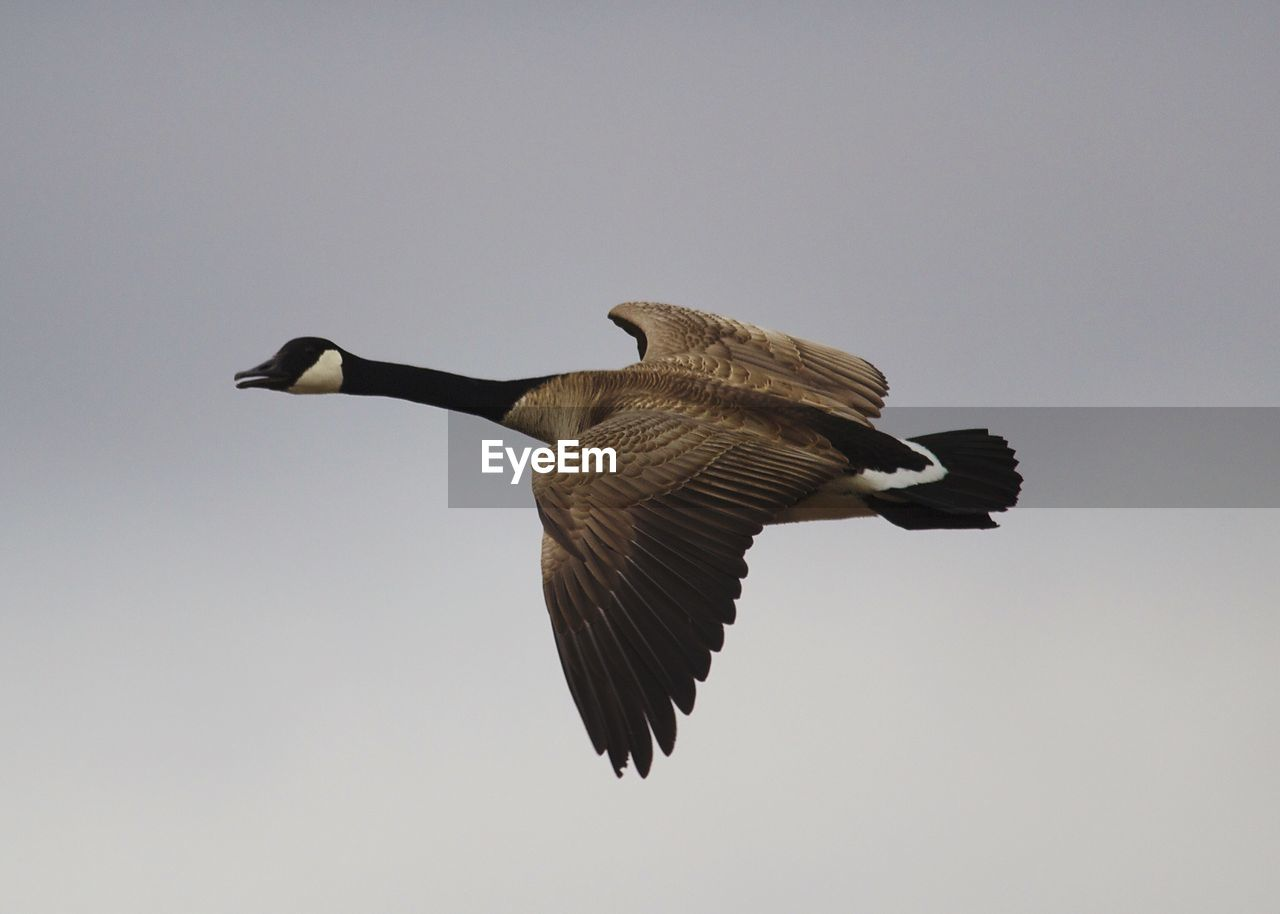 Low angle view of canada goose flying against sky