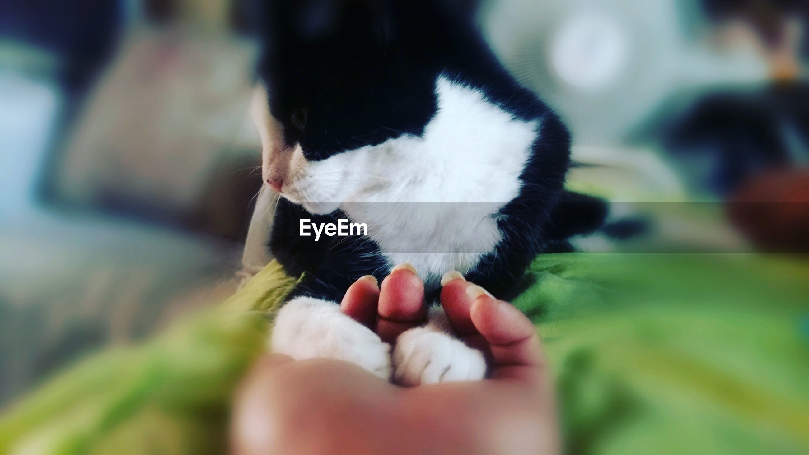 pets, human hand, domestic animals, animal themes, one animal, domestic cat, human body part, mammal, real people, indoors, holding, one person, young animal, feline, day, close-up, nature, people