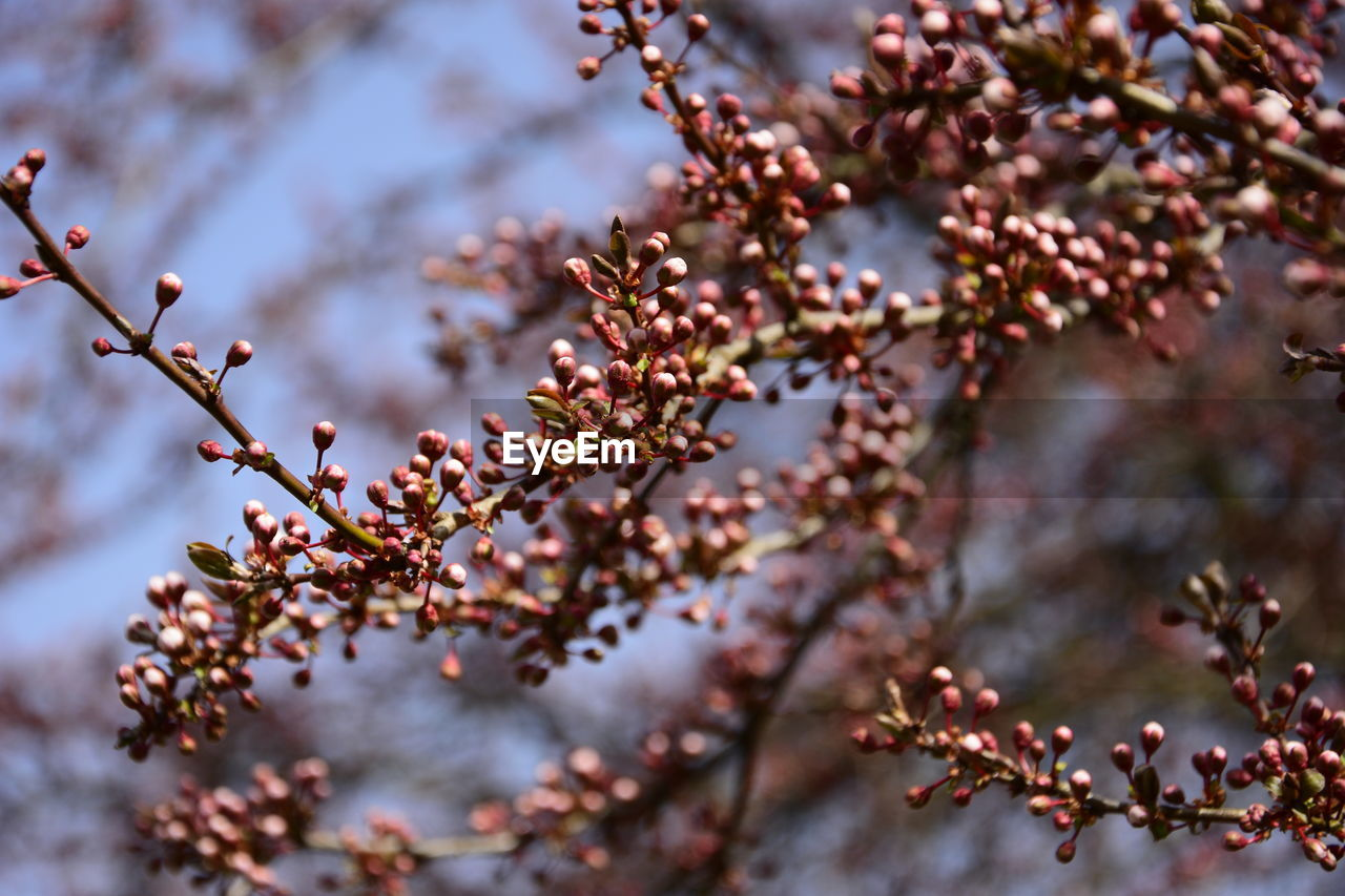 Close-Up Of Japanese Cherry Blossoms