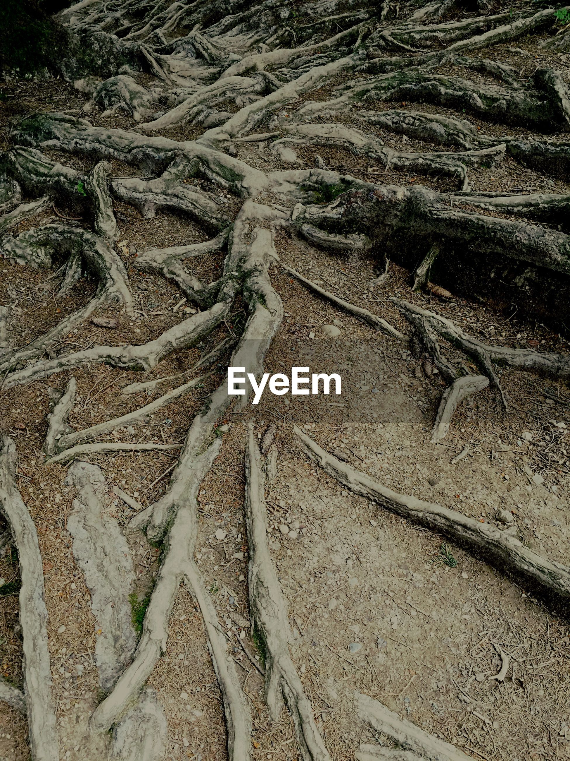 High angle view of tree roots spreading