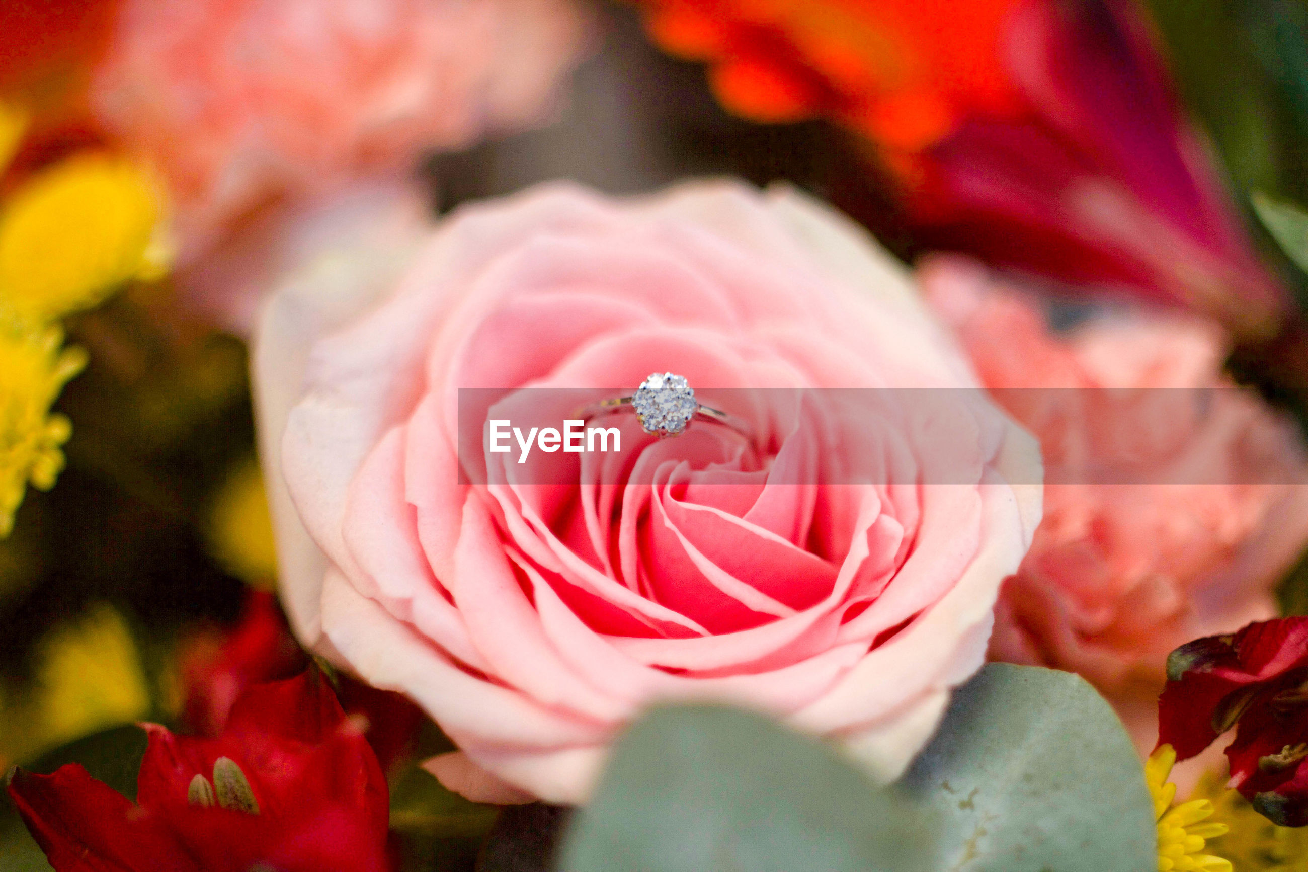 Close-up of engagement ring on pink rose
