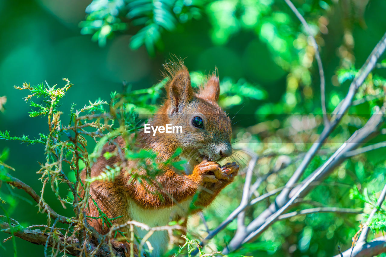 animal, animal themes, animal wildlife, rodent, one animal, mammal, animals in the wild, squirrel, vertebrate, no people, plant, focus on foreground, close-up, nature, tree, day, eating, outdoors, selective focus, green color, whisker