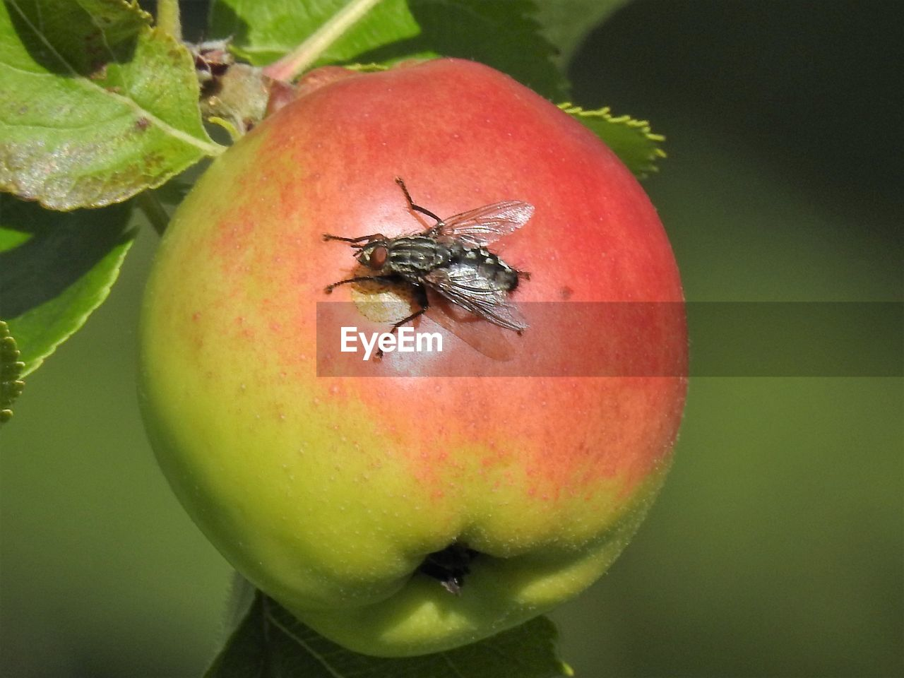 insect, animals in the wild, food and drink, animal themes, red, fruit, close-up, no people, outdoors, animal wildlife, food, nature, one animal, day, growth, freshness