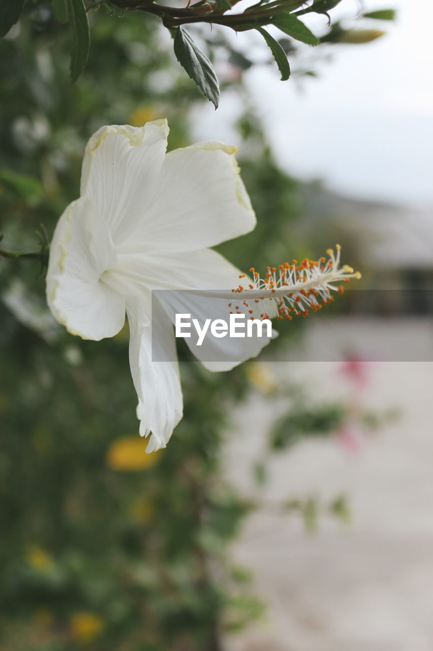 flower, petal, fragility, beauty in nature, white color, flower head, growth, nature, freshness, focus on foreground, plant, day, close-up, blooming, outdoors, no people, hibiscus