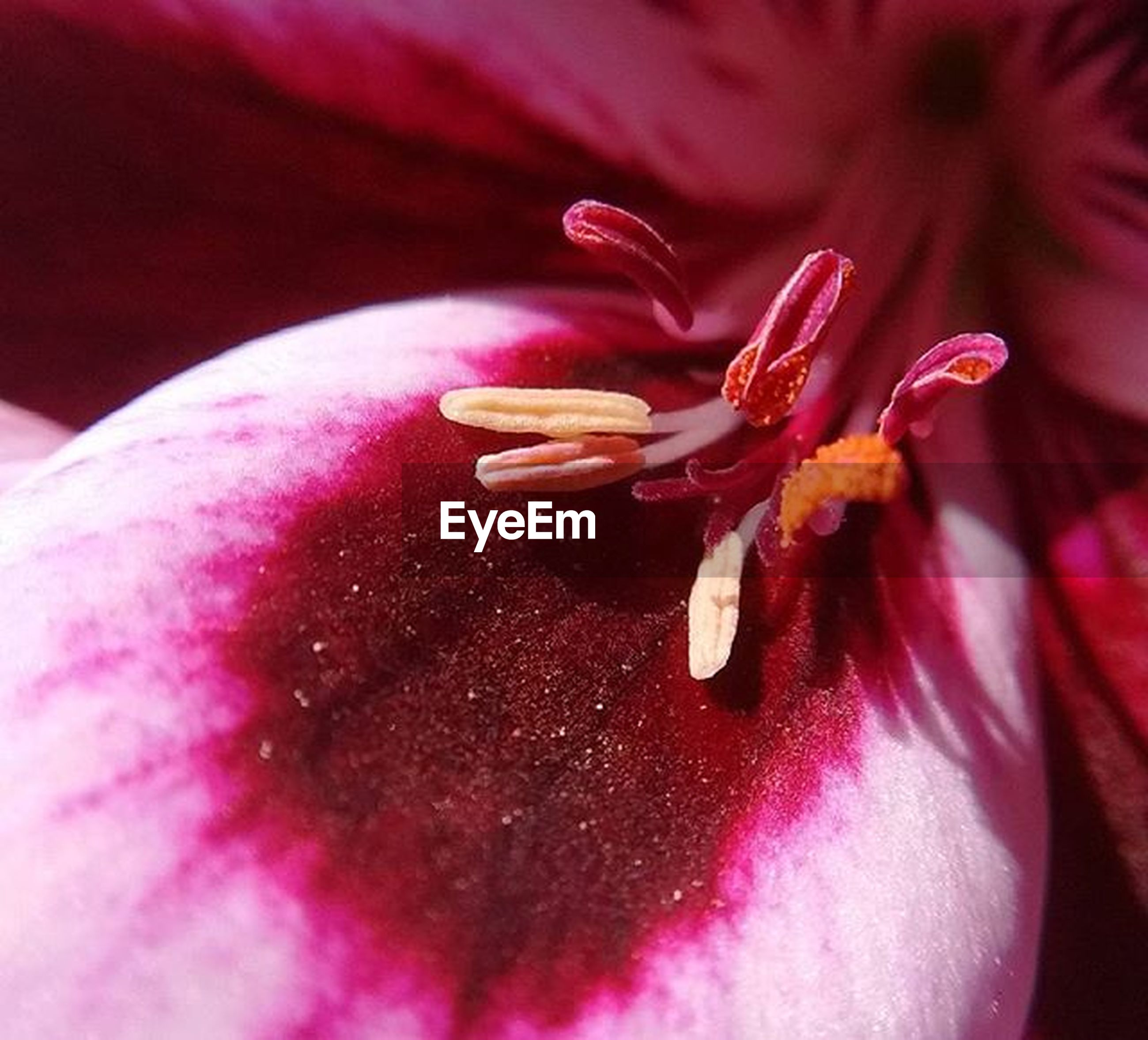 flower, freshness, petal, flower head, fragility, beauty in nature, single flower, close-up, growth, pink color, nature, stamen, extreme close-up, macro, selective focus, red, pollen, tulip, full frame, backgrounds