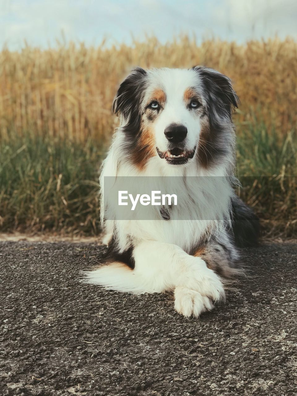 dog, canine, one animal, domestic, pets, animal themes, mammal, domestic animals, animal, vertebrate, land, field, no people, sitting, day, portrait, nature, focus on foreground, looking at camera, looking, outdoors, mouth open