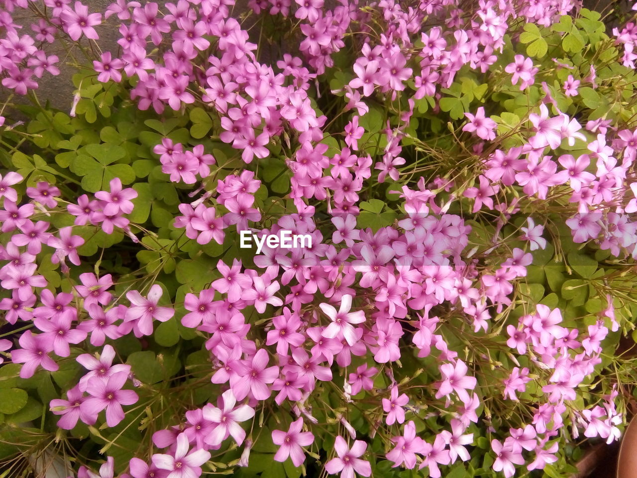 flower, flowering plant, plant, beauty in nature, freshness, pink color, fragility, petal, growth, vulnerability, nature, flower head, no people, plant part, inflorescence, leaf, close-up, day, full frame, high angle view, outdoors, flowerbed