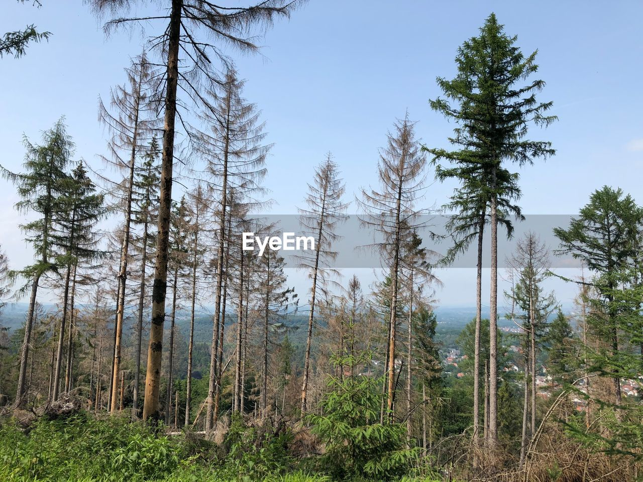 tree, plant, land, forest, growth, sky, nature, scenics - nature, environment, tranquil scene, pine tree, non-urban scene, no people, tree trunk, trunk, beauty in nature, landscape, tranquility, day, woodland, outdoors, evergreen tree, coniferous tree, pine woodland