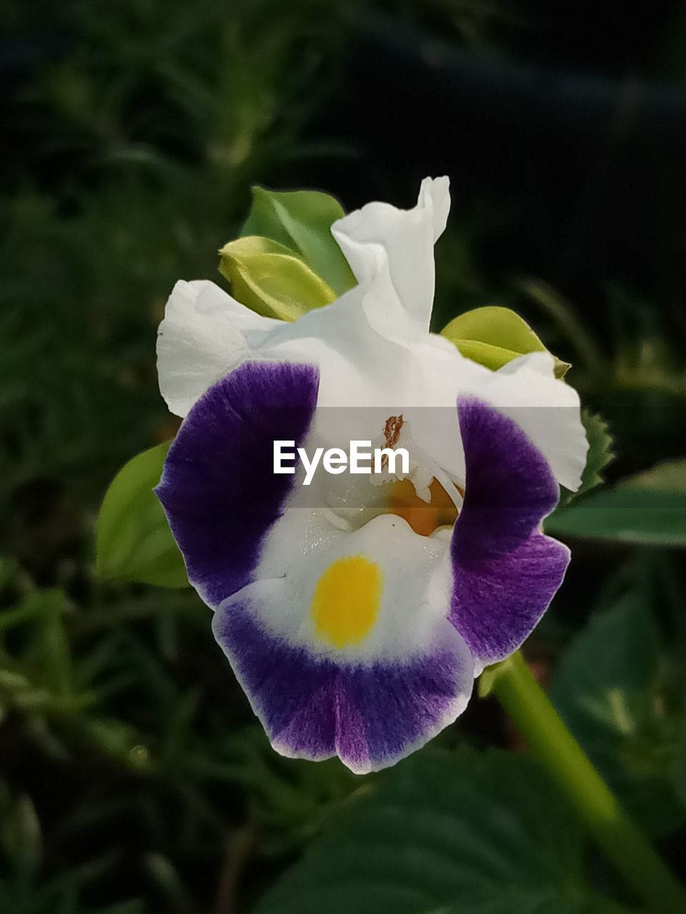flowering plant, petal, flower, plant, freshness, beauty in nature, fragility, vulnerability, growth, inflorescence, flower head, close-up, purple, nature, iris, focus on foreground, day, no people, pollen, iris - plant, outdoors