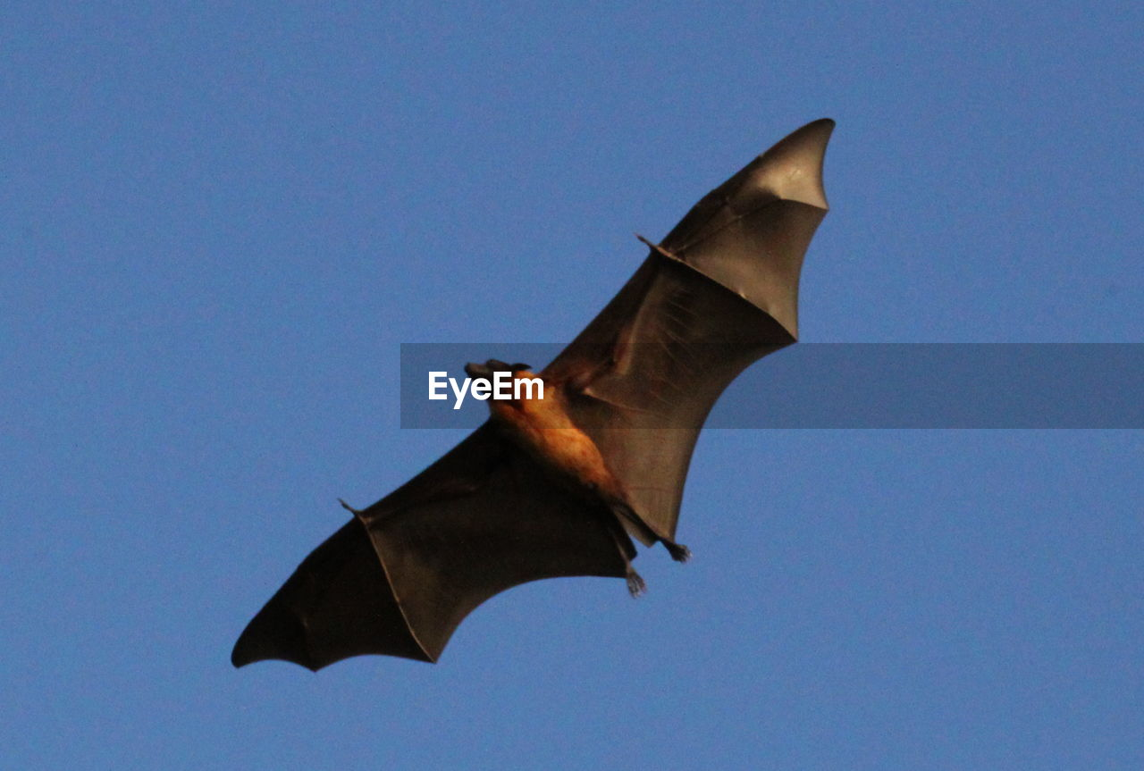 clear sky, low angle view, flying, copy space, no people, outdoors, animal themes, one animal, bat - animal, flag, day, blue, animals in the wild, mid-air, spread wings, nature, sky, close-up