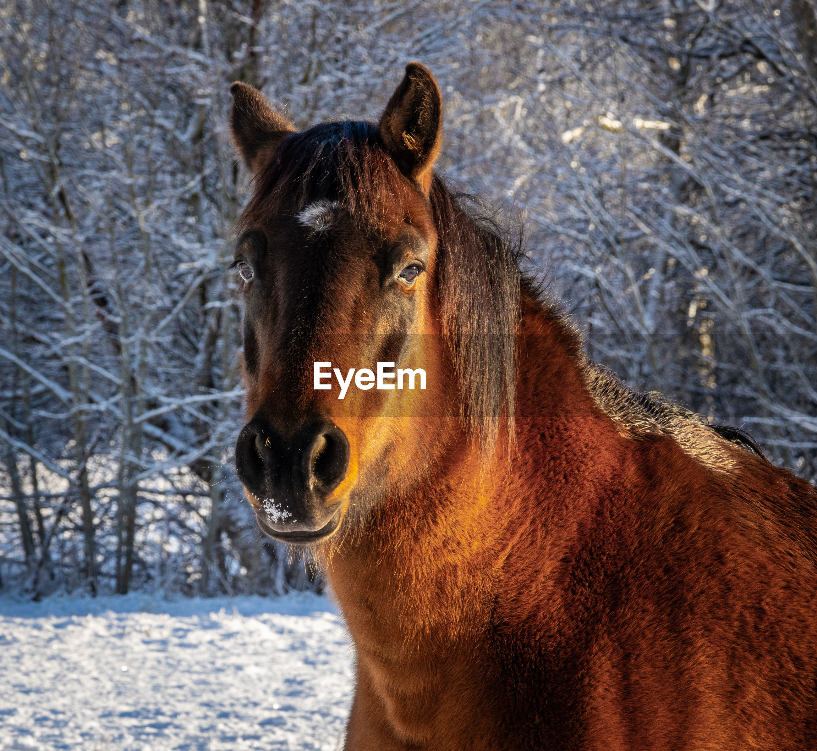 Portrait of horse in snow